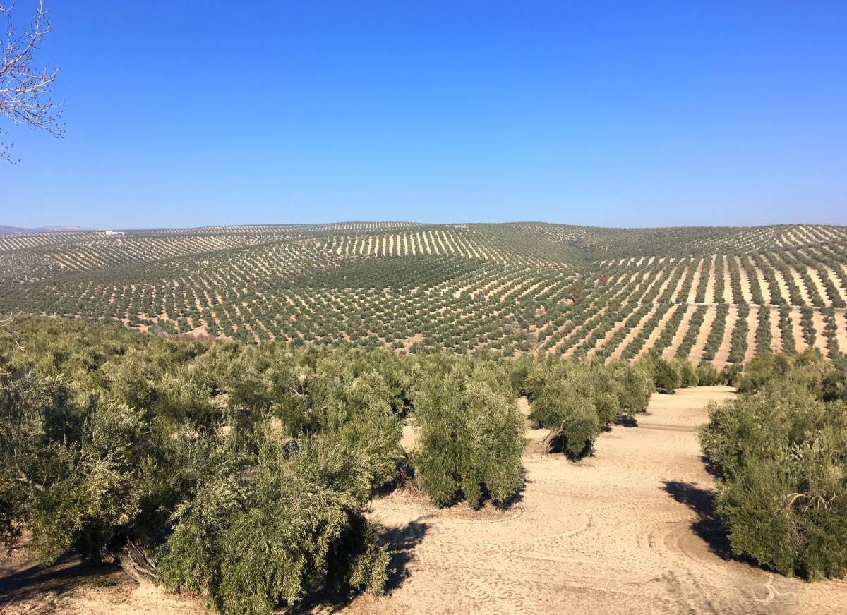 Andalusia has the largest contiguous olive fields in the world