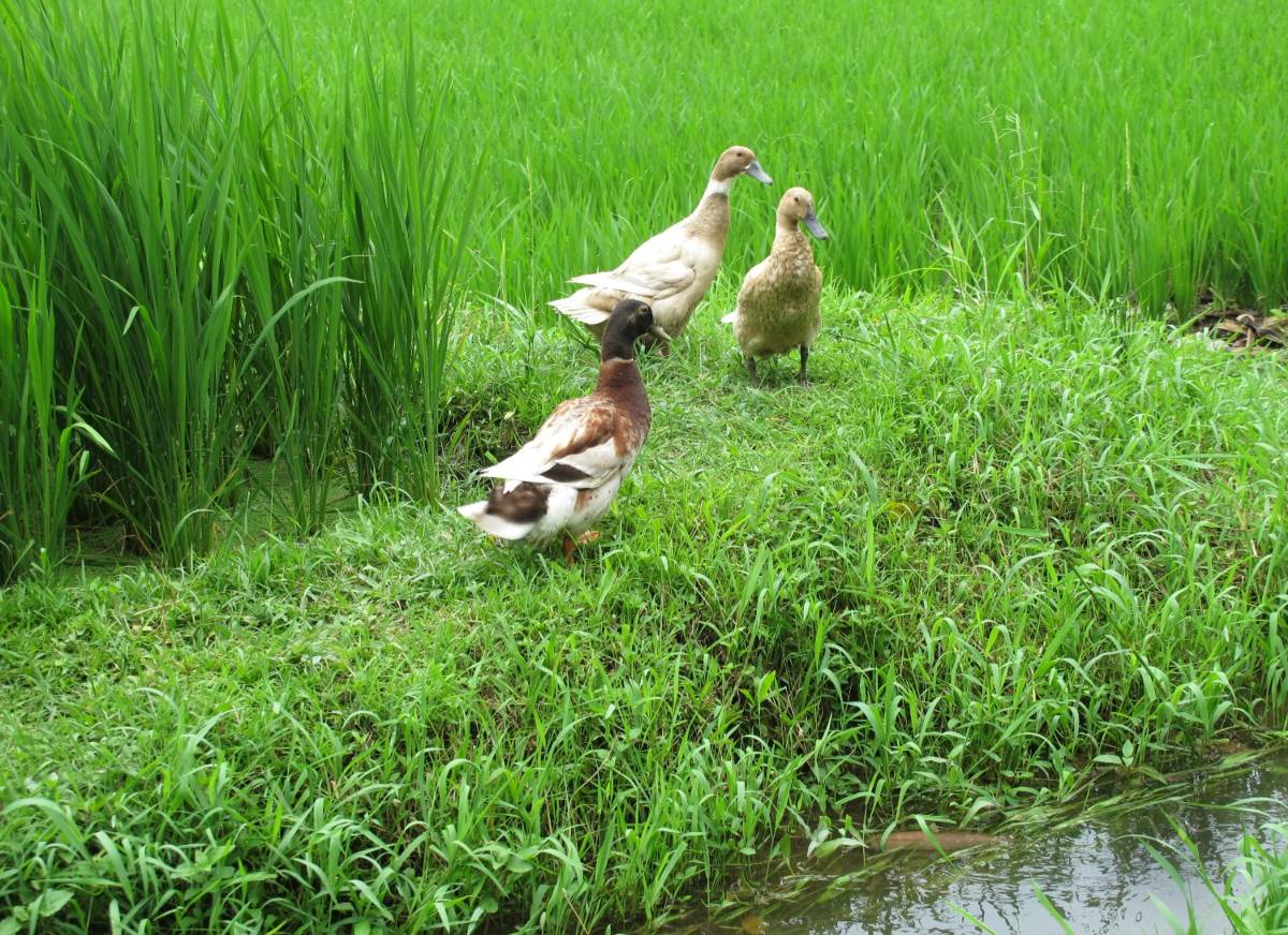 ducks in the rice paddy